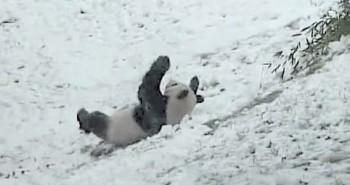 zimske-radosti-panda-totalno-izvan-sebe-zbog-prvog-snijega-482x321-20141147-20141126145822-d3c879bd2461238ec1751f4785eca202