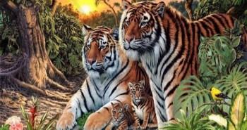 tigar11